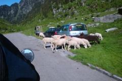 K1024_241-Schafe an der Göscheneralp